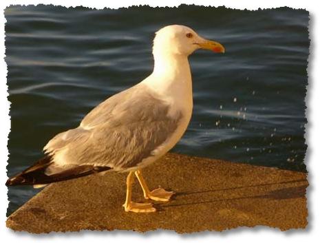 il gabbiano re della laguna di Caorle